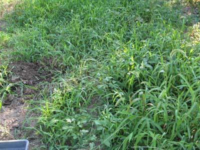 ジャガイモ掘り1