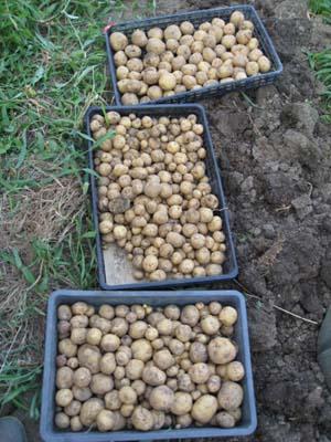 ジャガイモ掘り3