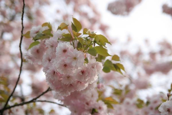 八重桜2111206