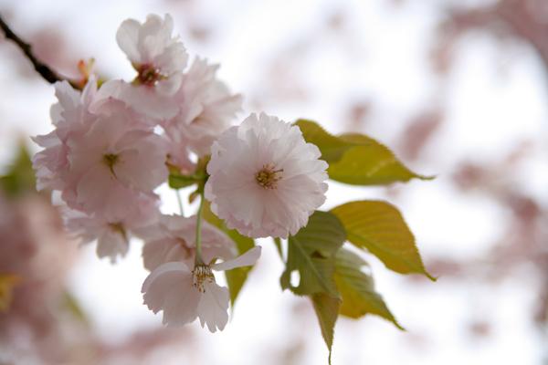 八重桜1111206