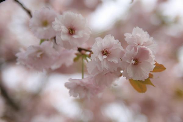 八重桜3111206