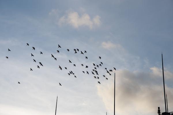 ハトの群れ111208