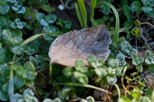 枯れ葉に霜111217