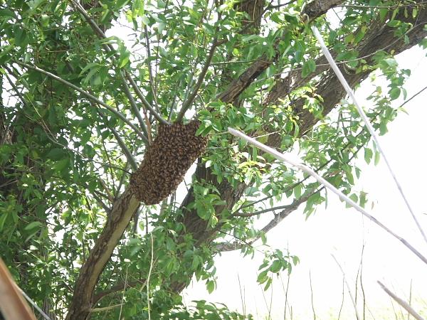 ミツバチ100620