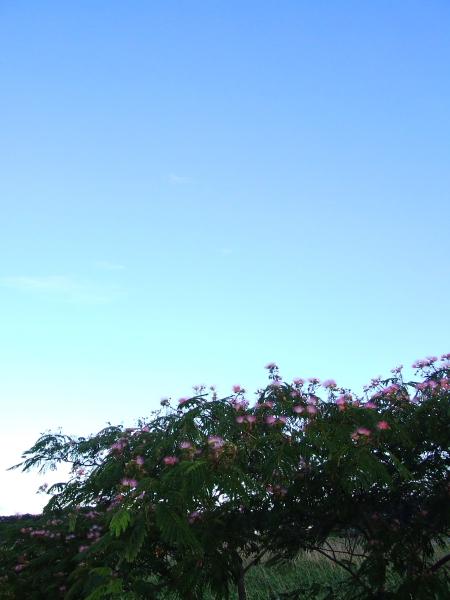 ネムノキの花100715