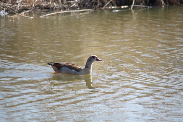 ヨーロッパの水鳥120218