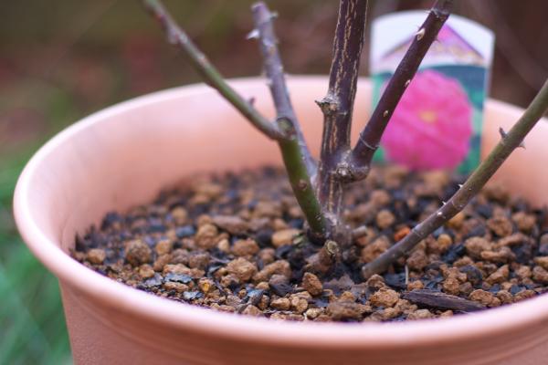 バラ鉢植え120212
