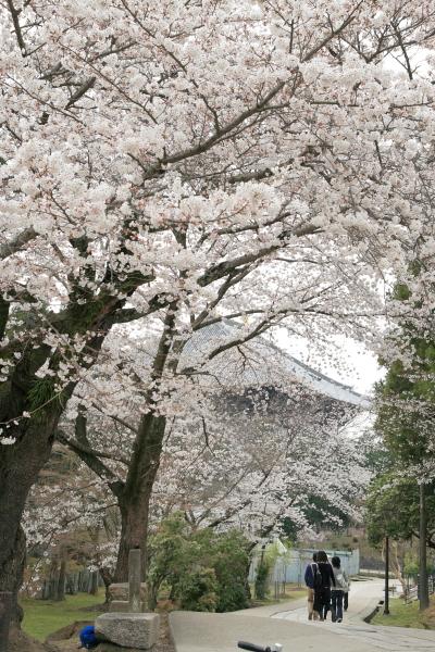 奈良公園の桜110331