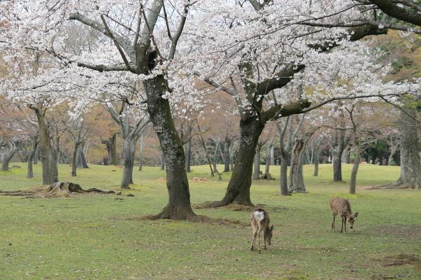 桜と鹿110428