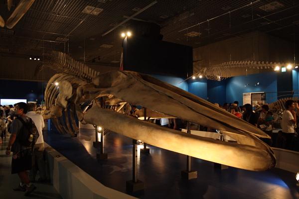 シロナガスクジラ101007