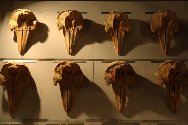 イルカの頭骨101008