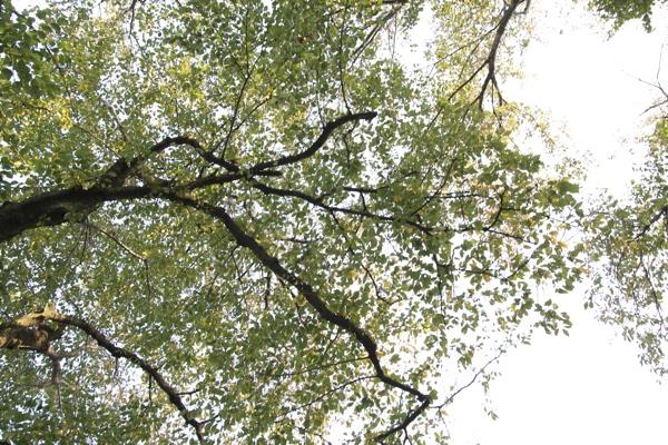 秋空と桜の葉101115-2