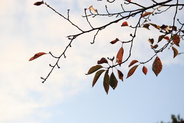 秋の桜101122