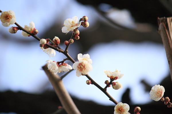梅の花110216