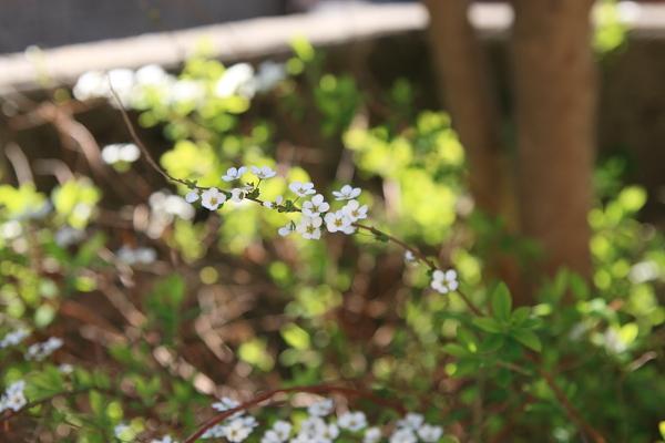 ユキヤナギの花110418
