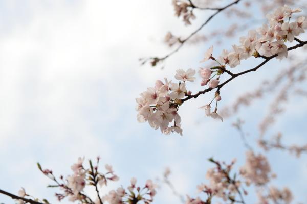 桜120401