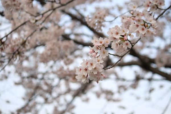 桜110422