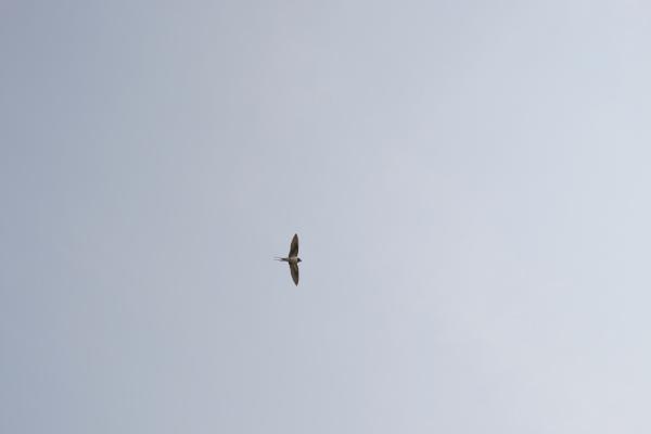 空飛ぶツバメ120318