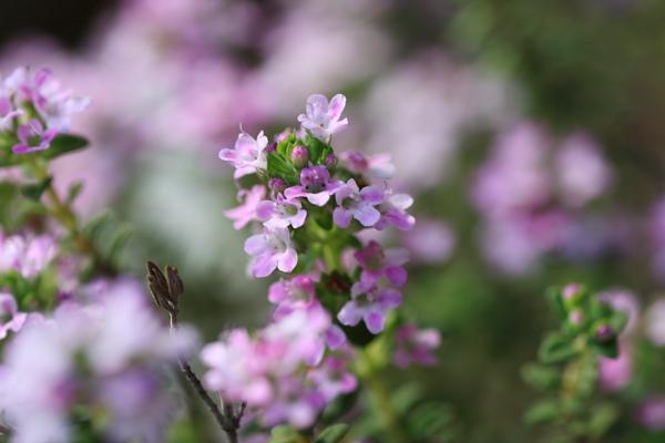 タイムの花110526