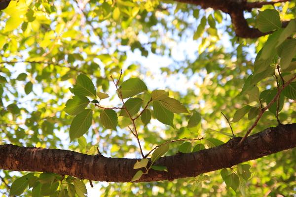 葉桜110803