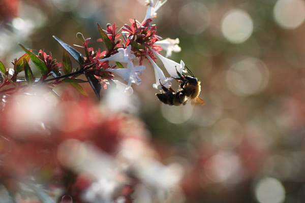 ミツバチ110919