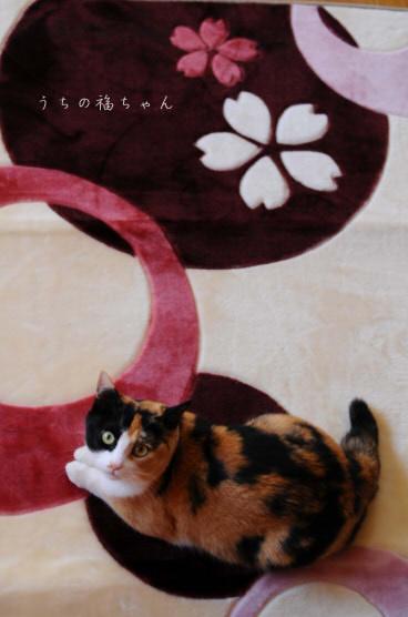 福ちゃんと桜ラグ。