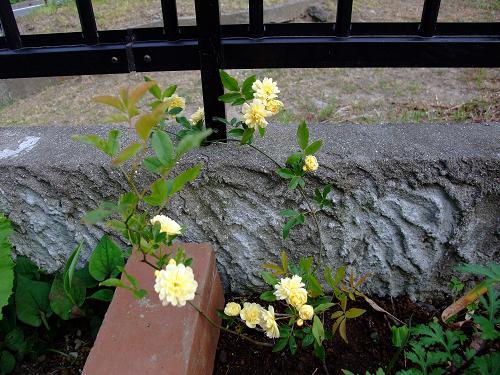 匂い黄色のバラ