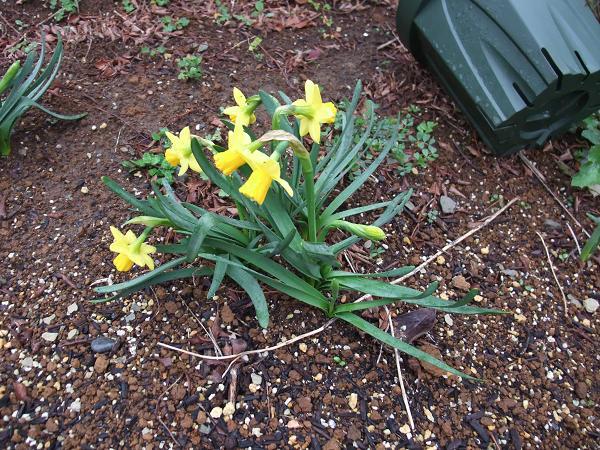 北の庭水仙黄色