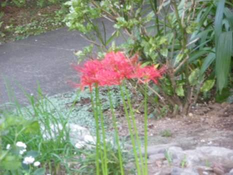 紅い花なら曼珠沙華