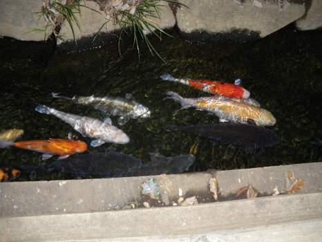 玉川上水の鯉