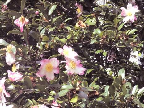 さざんかの花2