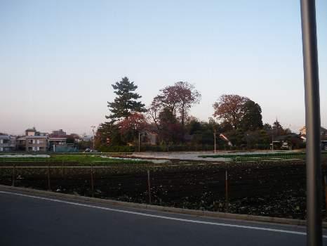 大泉の田舎の柿の木