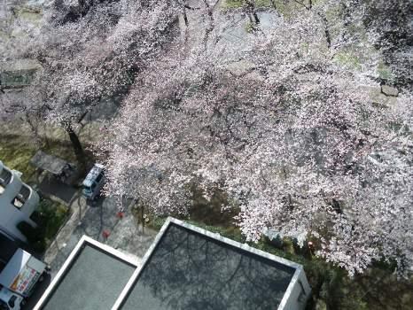 2010年の桜A