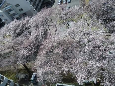 2010年桜B