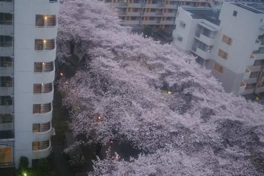 2010年桜H