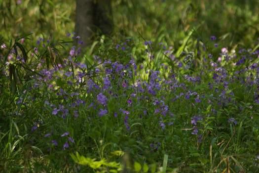 花だいこん (2)
