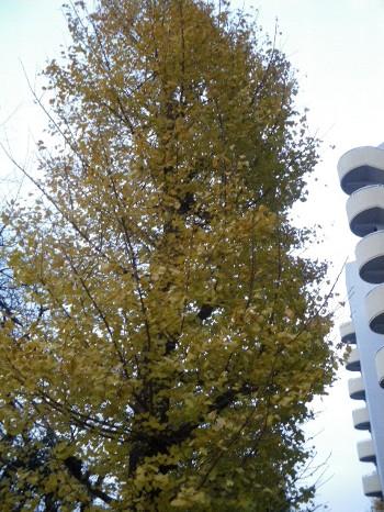 落ちる前のイチョウの葉