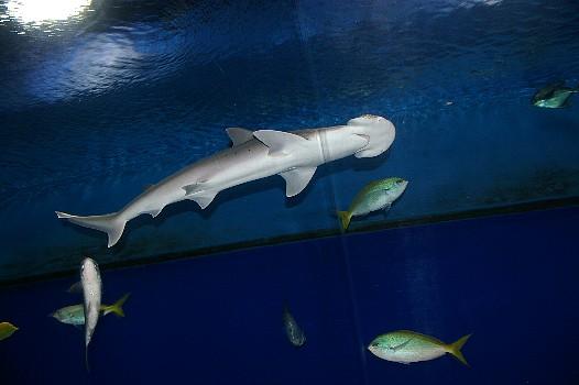 海遊館の鮫