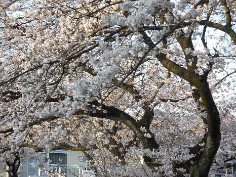 桜4月7日八分咲き