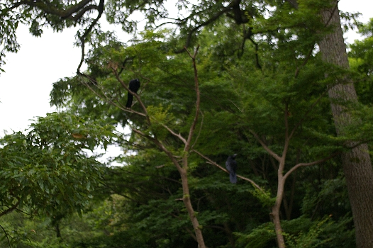 多摩湖のカラス2羽