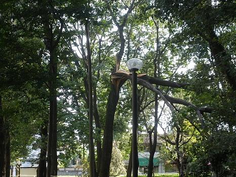 台風15号で折れた木1