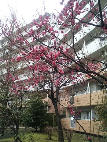 梅咲いた。