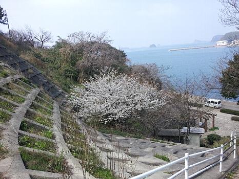 2012-03-28 壱岐・早咲きの桜350