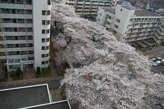 今年の桜A