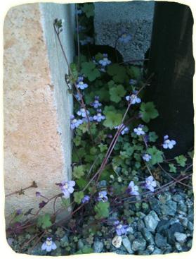 2011.4.6.壁際に咲くスミレかなIM のコピー