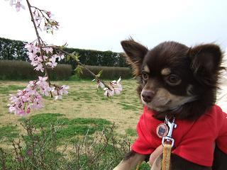 桜とショコラ
