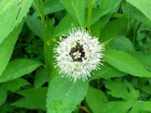 オゼビルの花
