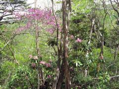 ミツバツツジと石楠花