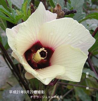 平成21年9月23日オクラ・ジュエルのお花