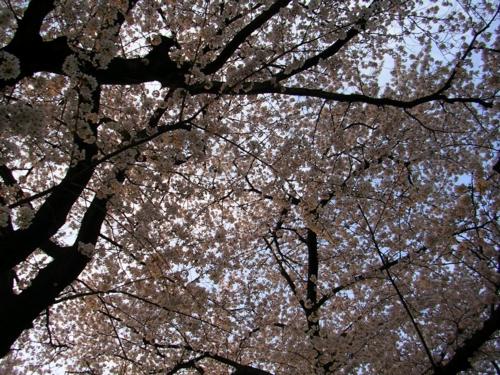 10桜13